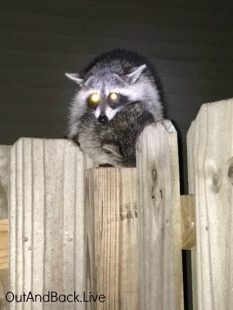 raccoon4e